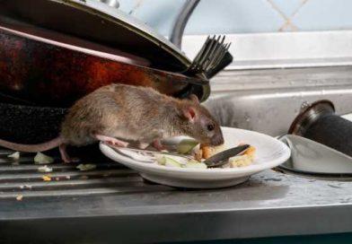 Umpan Tikus